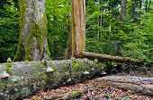 Deadwood in beech-fir forest reserve