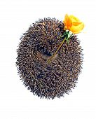Forest Wild Hedgehog With Flower Yellow Rose Isolated