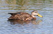 Mottled Duck In The Florida Everglades