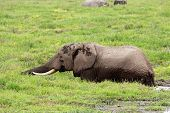 African elephant (Loxodonta africana) feeding in marshland, Amboseli National Park, Kenya