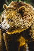 killer, brown bear, majestic and powerful animal