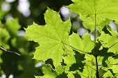 Detail Of Green Maple Leaf
