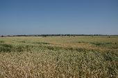 Wheat in the field.