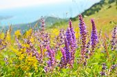 foto of salvia  - Salvia flowers on mountain meadow. Summer landscape