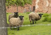 stock photo of suffolk sheep  - It is image of Suffolk sheep in pasture - JPG