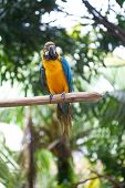 Beautiful yellow and blue macaw perched on a wooden post