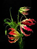 Flame Lilies