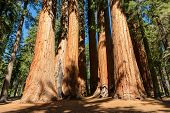 foto of sequoia-trees  - Giant sequoia trees in Sequoia National Park - JPG