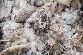Fresh Cuttlefish For Sale On Greek Island Kalymnos