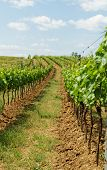 picture of tokay wine  - Beautiful landscape in the Tokay grapes - Hungary