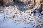 Winter forest trees covered in snow after heavy snowfall in nature with warm sunlight. Ontario, Canada.