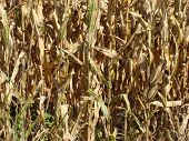 Dry corn ready for harvest