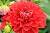 Dahlia flower and buds