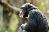 Daydreaming Chimpanzee