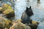 image of scottish terrier  - Scottish black terrier resting on the river - JPG
