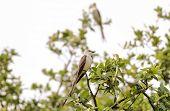 Pair Of Scissor-tailed Flycatcher (tyrannus Forficatus))