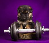 German Shepherd Puppy With Dumbbell. Purple Background.