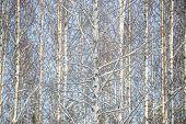 Full Frame of winter Birch Trees