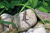 Little Lizard On A Rock