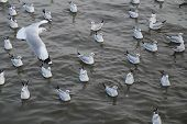 Seagull Swimming On The Sea
