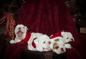 stock photo of christmas puppy  - Bulldog puppies at their first Christmas and one is bored and yawning - JPG