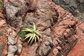 Wild aloe perryi from Socotra Island