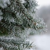 frozen branch of spruce