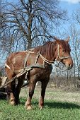 picture of workhorses  - Workhorse during springtime in  Lithuania - JPG