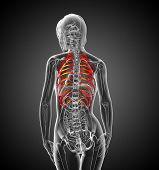 3D Render Medical Illustration Of The Ribcage