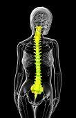 3D Render Medical Illustration Of The Human Spine