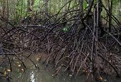 Mangroves In Dark Water At Low Tide