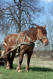 stock photo of workhorses  - Workhorse during springtime in  Lithuania - JPG