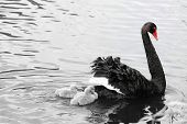 stock photo of black swan  - Black Swan and Cygnets in black and white with red beak and eye color focal point - JPG