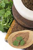 picture of cilantro  - Coriander  fresh greens and grains cilantro cilantroisolated on white - JPG