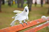 stock photo of cockatoos  - White Parrot  - JPG