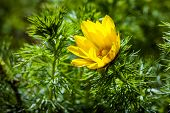 foto of adonis  - Beautiful spring yellow flowers Pheasant - JPG