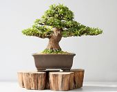 stock photo of bonsai  - Summer small bonsai azalea tree - JPG