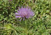Dwarf Thistle - Cirsium acaule