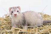 foto of ferrets  - small animal rodent ferret sits on dry hay - JPG