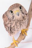 foto of hawk  - young chick hawk sitting on a wooden driftwood on a white background - JPG