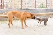 picture of bull-mastiff  - two dogs - JPG