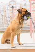 stock photo of toy dogs  - Junior bullmastiff dog plays with a toy - JPG