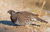 picture of coniferous forest  - A male Spruce Grouse looks for seeds at the side of a rough road which runs through a coniferous forest in central Alberta - JPG