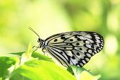 image of butterfly  - Large Tree Nymphs butterfly and green leaf - JPG