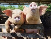 stock photo of pig  - Two cute and funny pigs looking curiously at the camera from behind their fence on a farm in the Dominican Republic - JPG