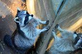 stock photo of raccoon  - a cute little raccoon against a mirror - JPG