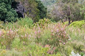 picture of fynbos  - Several species of fynbos and protea plants in the Kirstenbosch National Botanical Gardens - JPG