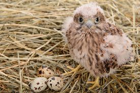 foto of falcons  - young falcon bird with eggs sitting in a straw nest - JPG