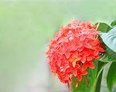 Rangan flower