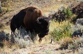 Bison Takes A Walk